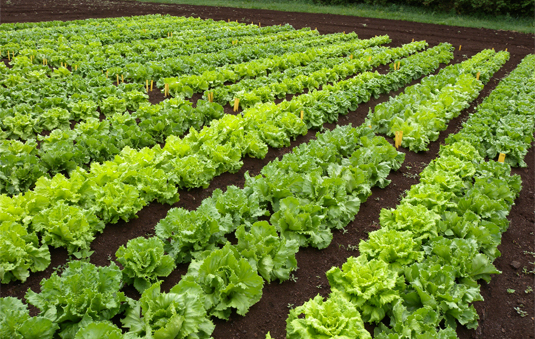 New varieties of lettuce developed by producers for producers