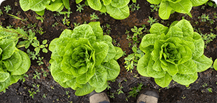 lettuce view from above